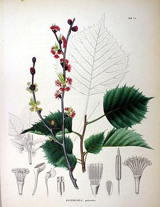 Euptelea - Euptelea polyandra