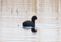 Eurasian Coot Near Newport Wetlands RSPB Reserve Floating Walkway.PNG