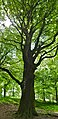 European Beech (Fagus sylvatica), old specimen ... (35123903180).jpg