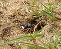 European beewolf (Philanthus triangulum) coming out of its nest, Sandy, Bedfordshire (7726825004).jpg