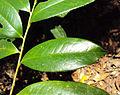 Eurya nitida 04.JPG