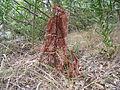 Ex Wollemi pine (4237132604).jpg
