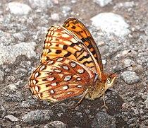FRITILLARY, NORTHWESTERN (Speyeria hesperis) (7-13-2015) near hannigan meadow, white mts, greenlee co, az (6) (20287660126).jpg