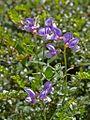 Fabaceae sp.-CTJ-IMG 7148.jpg