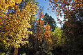 Fall colors on the top of Mogollon Rim (4017113566).jpg