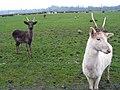 Fallow Deer on farm.jpg