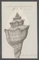 Fasciolaria trapezium - - Print - Iconographia Zoologica - Special Collections University of Amsterdam - UBAINV0274 084 03 0006.tif