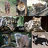 Felidae collage
