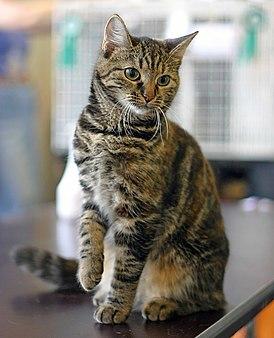 Европейская кошка — Википедия