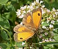 Female Gatekeeper. Pyronia tithonus (43542855402).jpg