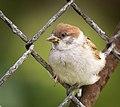 Fenced tree sparrow (28580147030).jpg