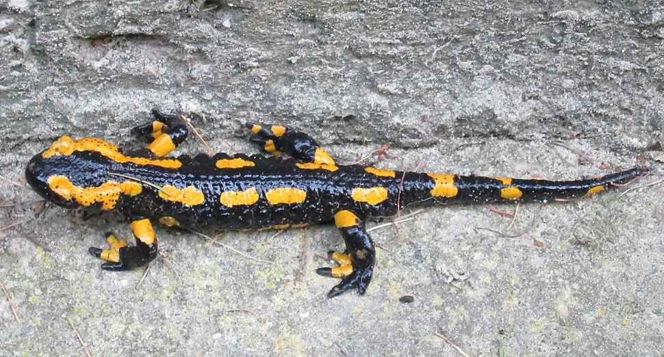 Feuersalamander im Harz 2014