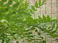 Feuilles d'arbre en été.JPG