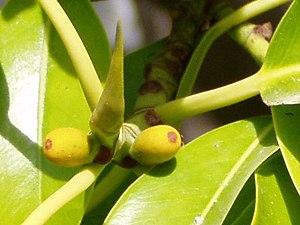 Ficus elastica - The figs of F. elastica