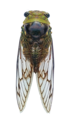 Fidicina mannifera (Cicadidae).png