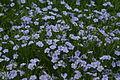 Field of flax (nick-od) 3.jpg