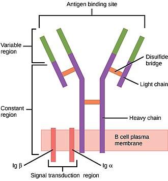 B-cell receptor - Image: Figure 42 02 06