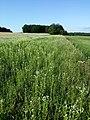 Filago vulgaris sl307.jpg