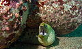 Fimbriated Moray (Gymnothorax fimbriatus) (8502383905).jpg