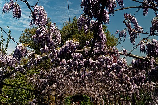 Firenze, Giardino Bardini, glicine in fiore