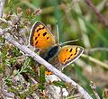First Small Copper...hiding from the wind - Flickr - gailhampshire.jpg