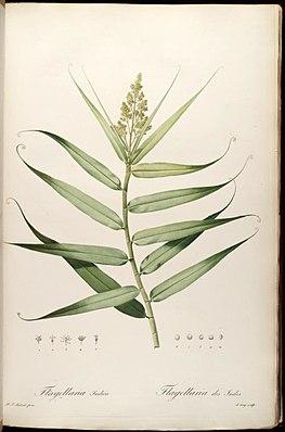 Flagellaria indica, Illustration.