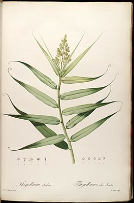 Flagellaria indica, Illustration.