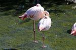 Flamingo (30220029472).jpg
