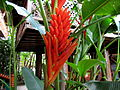 Fleur rouge flamboyante Vietnam.JPG