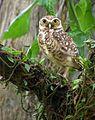 Flickr - Dario Sanches - CORUJA-BURAQUEIRA ( Athene cunicularia ) (2).jpg