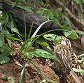 Flickr - Dario Sanches - VIRA-BOSTA Imaturo (Molothrus bonariensis) e ( Zonotrichia Capensis ).jpg