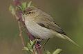Flickr - Rainbirder - Chiffchaff (Phylloscopus collybita).jpg