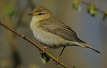 Flickr - Rainbirder - Willow Warbler (Phylloscopus trochilus).jpg