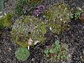Flickr - brewbooks - Saxifraga oppositifolia (and others).jpg