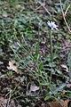 Flora della Sardegna 250 (06).jpg