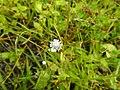 Flora from Madayipara DSCN2626.jpg