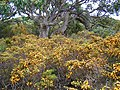 Flora of the Labillardiere Peninsula (15), Bruny Island.jpg