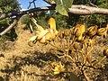 "Flores de ""açoita-cavalo-graúdo"" Luehea grandiflora Mart. & Zucc. (Malvaceae) 04.jpg"