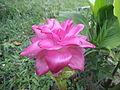Flores hermosas en Buga.JPG