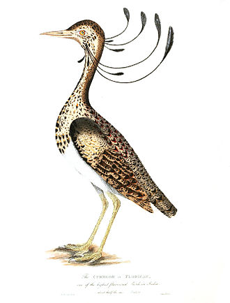 """Lesser florican - James Forbes (1749-1819), the collector of Bharuch noted in his Oriental Memoirs (1813) that """"The Curmoor or Florican exceeds all the Indian wild-fowl in delicay of flavour"""""""