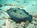Flounder (1889104222).jpg