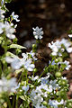 "Flower, Chinese forget-me-not ""Jeans"" - Flickr - nekonomania.jpg"