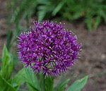 Flowering Onion Allium aflatunense 'Purple Sensation' Flower 2319px.jpg