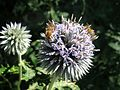 Flowers Blue Globe-Thistle 23.jpg