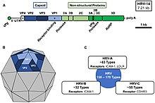 Rhinovirus Wikipedia