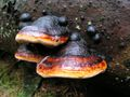 Fomitopsis pinicola 1.JPG