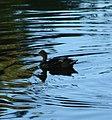 Ford Park, Duck Silhouette, Redlands, CA 7-12 (7747343314).jpg