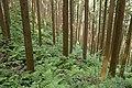 Forest in Mt.Kesoku 04.jpg