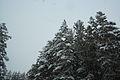 Forest near Ob river in Altai Region 28.JPG