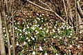 Frühlings-Knotenblume, Leucojum vernum 51.JPG